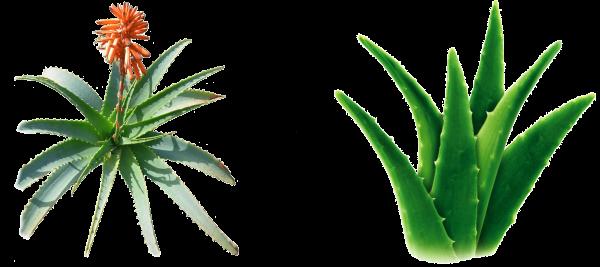 Avviare Una Coltivazione Aloe Vera In Italia E Guadagnare