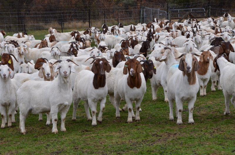 sheep farming business plan in pakistan triluma