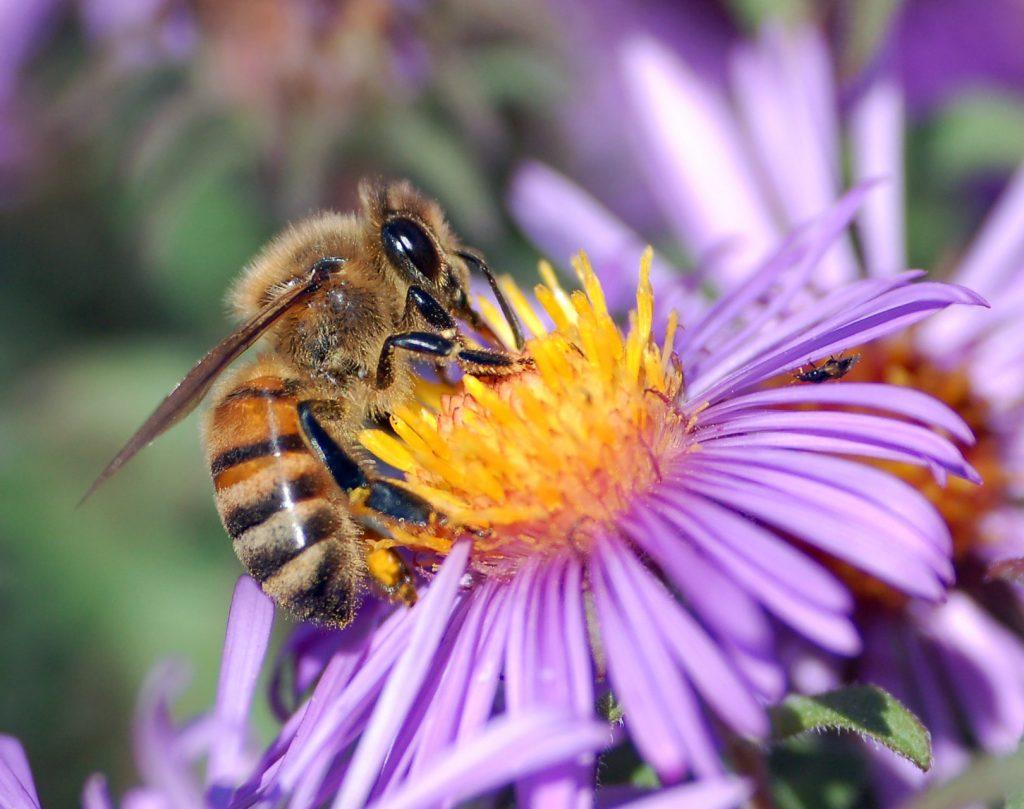 ape mellifera