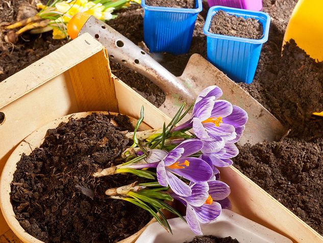 come coltivare lo zafferano in vaso