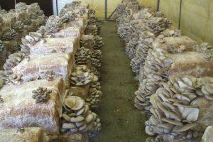 quali funghi conviene coltivare