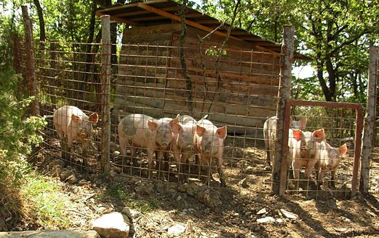 allevamento maiali domestici