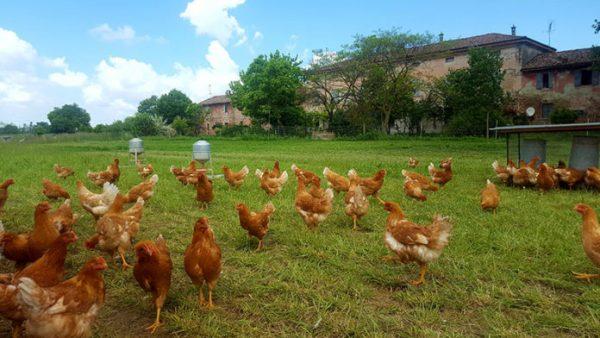 allevare polli