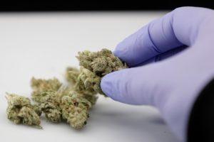 guadagnare con la cannabis light